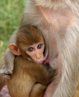 152826557524260-Macaque_monk..Daula_Agra.jpg