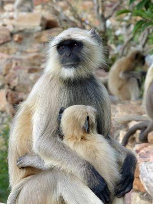259044237551646-The_monkeys_..ittaurgarh.jpg