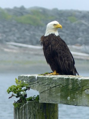 Bald Eagle, La Push