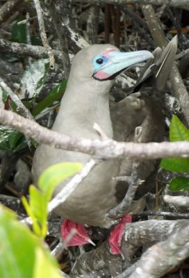 38961376445113-Red_footed_B..os_Islands.jpg