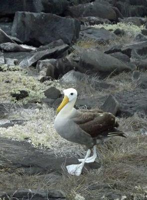 433006426445103-Waved_albatr..os_Islands.jpg