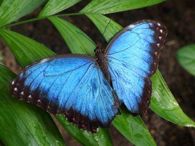 Blue Morpho butterfly - Lamanai