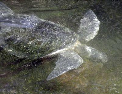 6444845-Sea_turtle_Isla_Santa_Cruz.jpg
