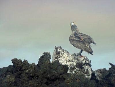 6444855-Pelican_Isla_Santa_Cruz.jpg