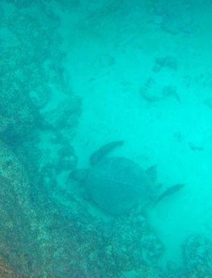 6461862-Sea_turtle_Isla_Espanola.jpg