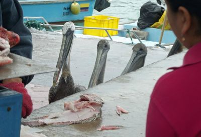 6462397-The_fish_market_Puerto_Ayora.jpg