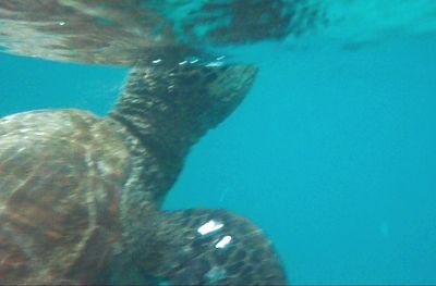 6462466-Sea_turtle_Isla_Espanola.jpg