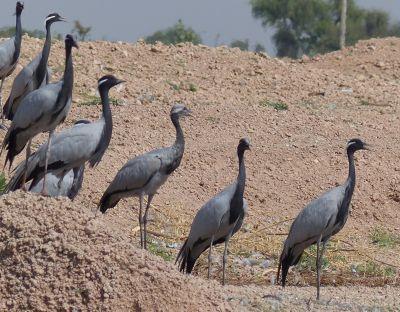 7535599-The_cranes_of_Khichan_Khichan.jpg