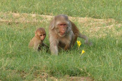 874551607524259-Macaque_monk..Daula_Agra.jpg