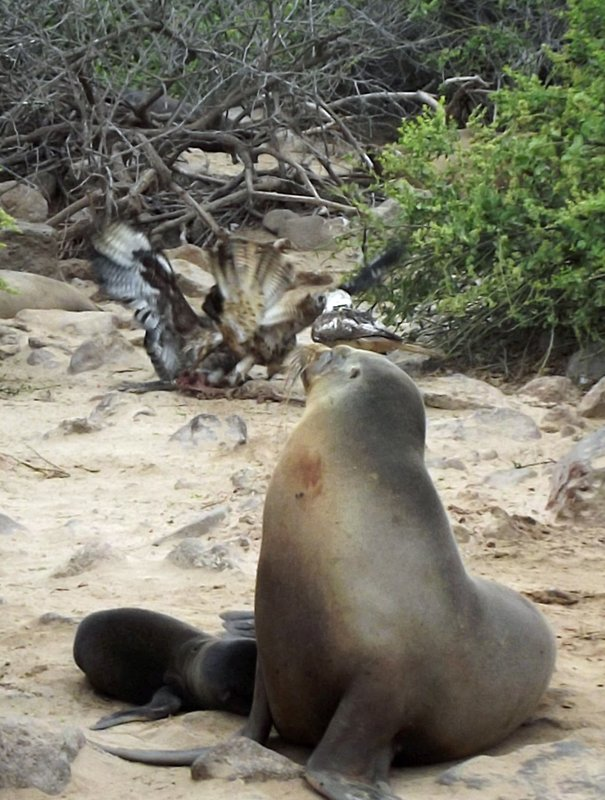 Galápagos hawks fighting over the sea lion placenta