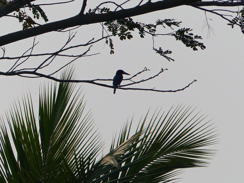 Kingfisher, Kerala backwaters