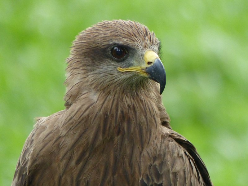 Black Kite at the Travancore Heritage Hotel