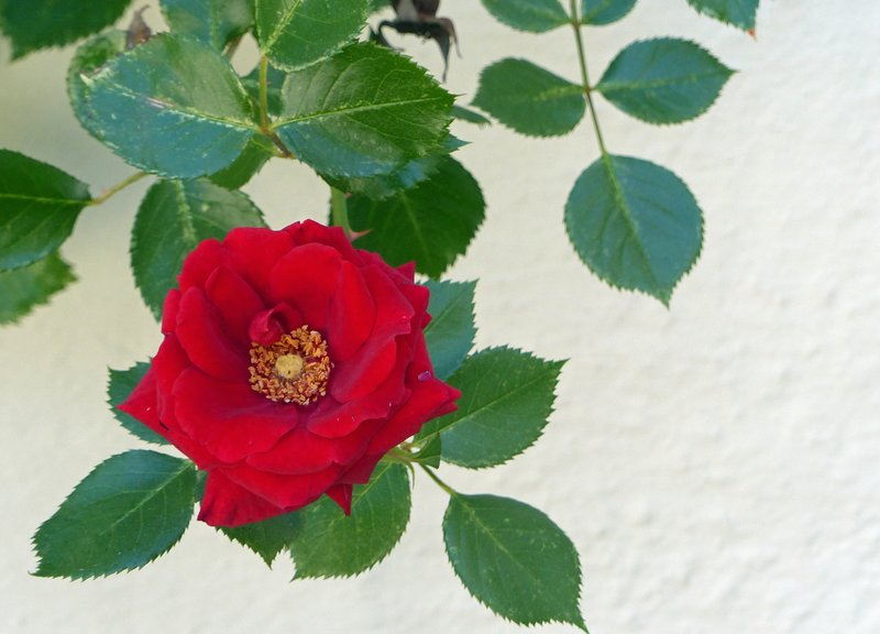 Rose growing in Kempten