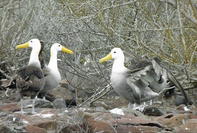 large_150513006445102-Waved_albatr..os_Islands.jpg