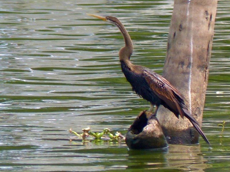 Darter, Kerala backwaters