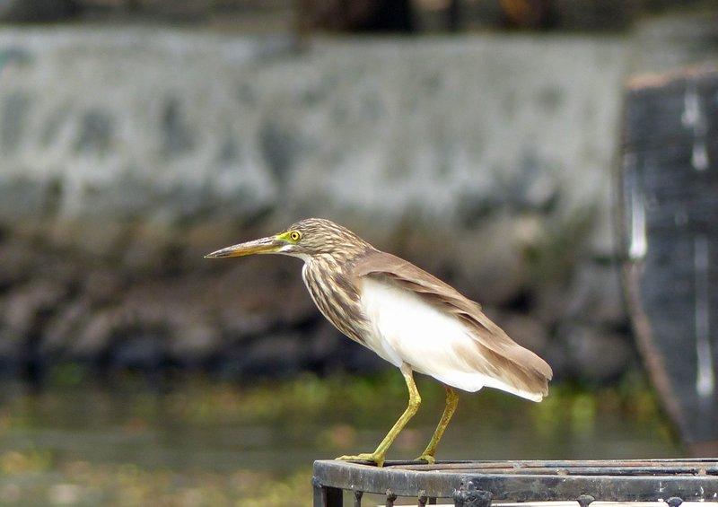 Heron, Kerala backwaters