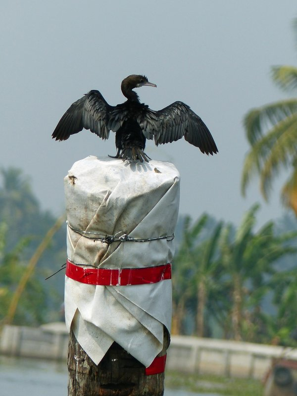 Cormorant, Kerala backwaters