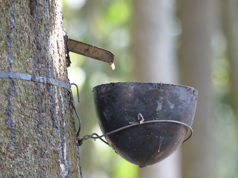Tapping for rubber, Kerala