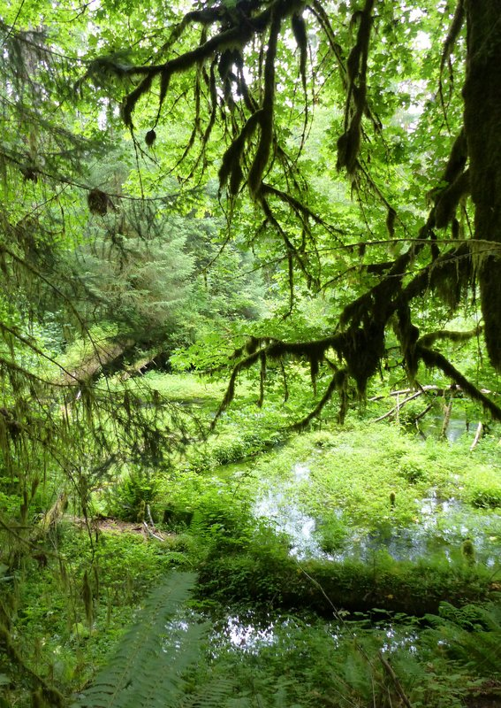Hoh Rainforest - Hall of Mosses trail, Taft Creek