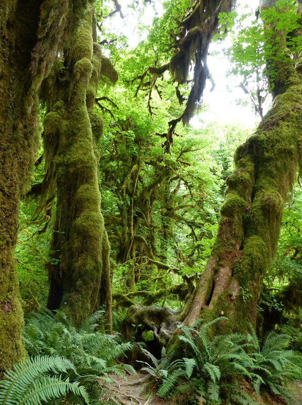 Hoh Rainforest - Hall of Mosses trail