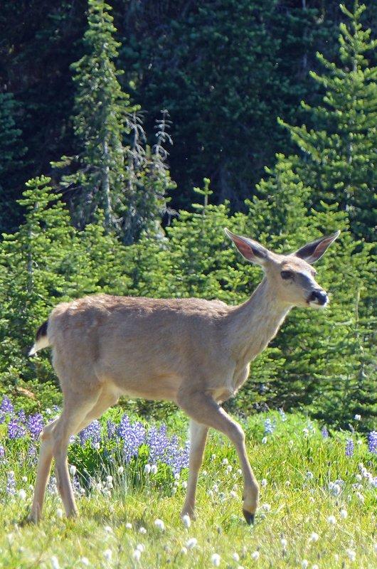 Blacktail deer, Hurricane Ridge