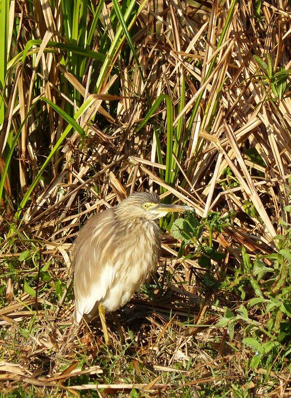Indian pond heron, Periyar