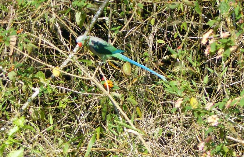 Blue-winged parakeet, Periyar