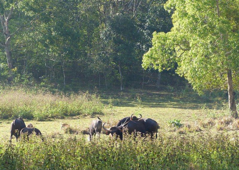 Bison herd, Periyar