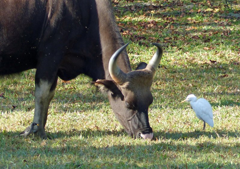 Bison and cattle egret, Periyar