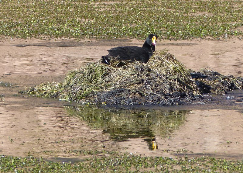 Giant Coot, Putana wetlands