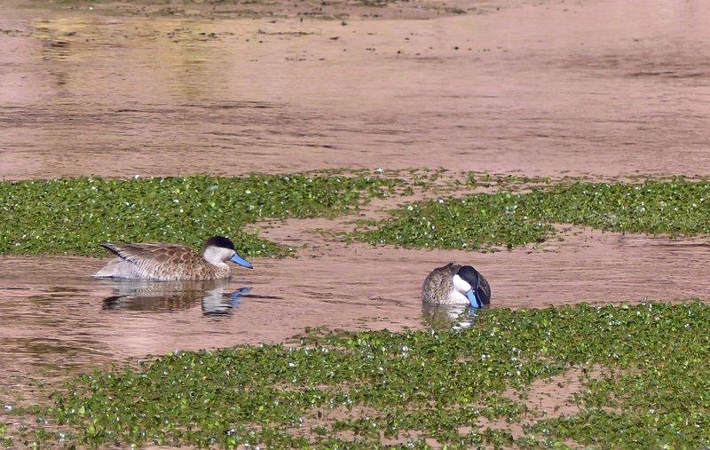 Ruddy Ducks at the Putana wetlands