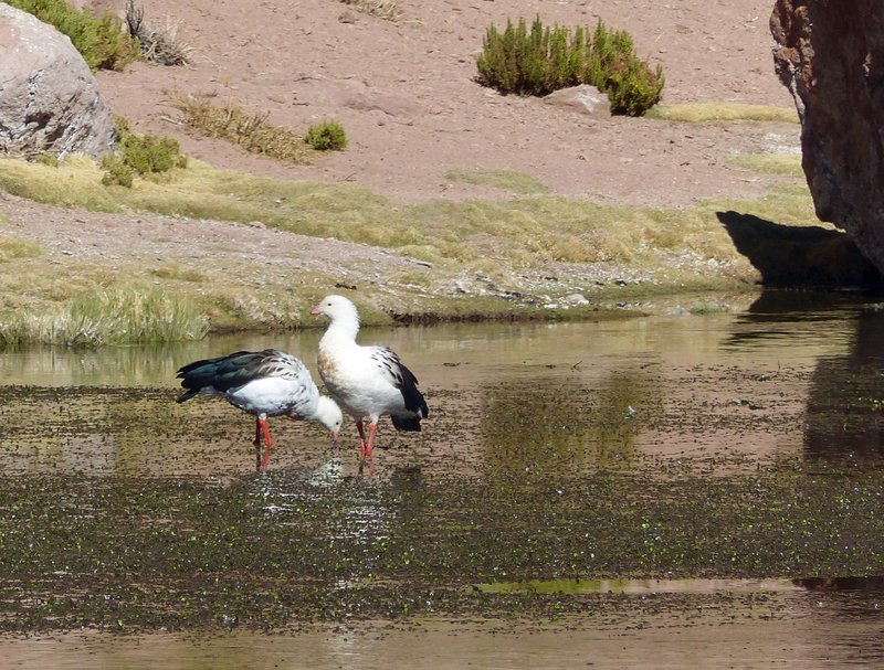 Andean Geese at the Putana wetlands