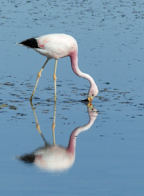 Flamingo feeding, Salar de Atacama