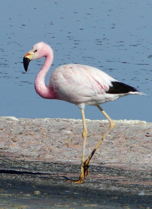 Andean Flamingo, Salar de Atacama