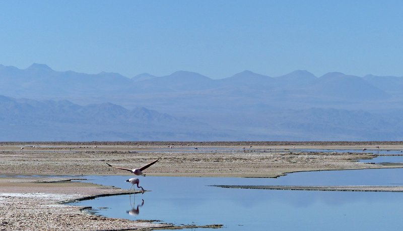 Flamingoes at the Salar de Atacama