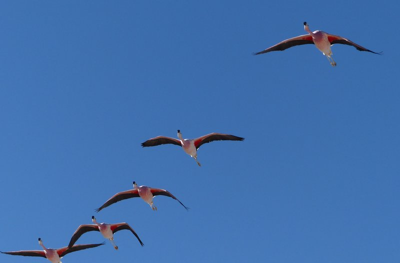 Flamingoes in flight at the Salar de Atacama