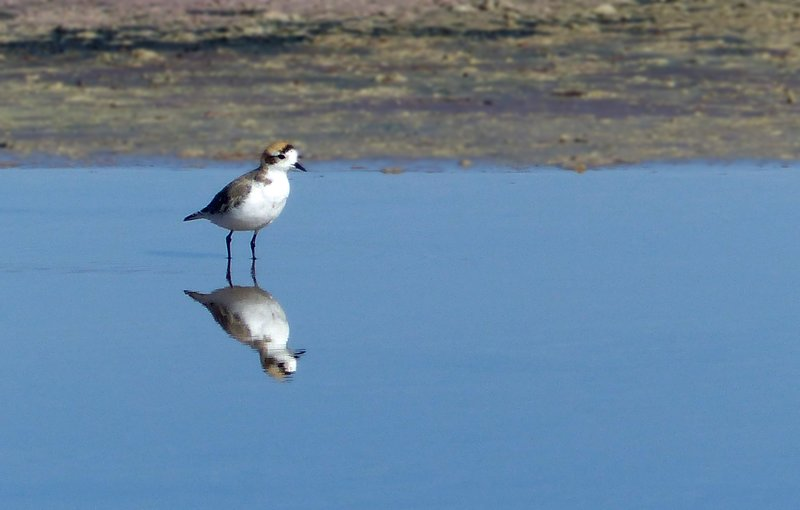 Puna Plover at the Salar de Atacama