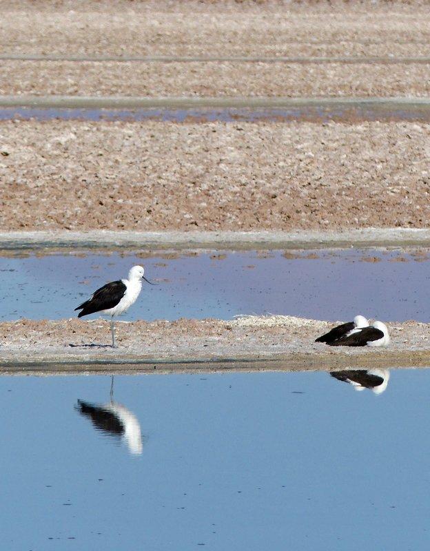 Andean Avocets, Salar de Atacama