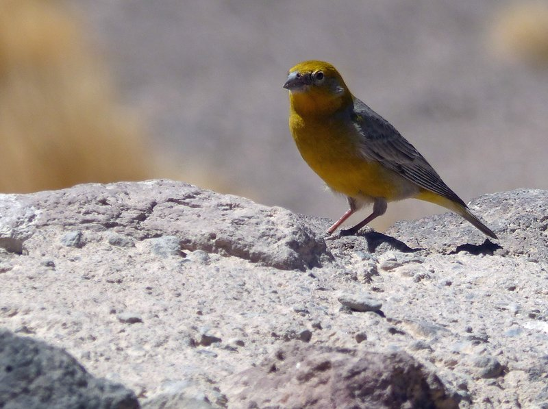 Greater Yellow Finch at the Mirador Miniques