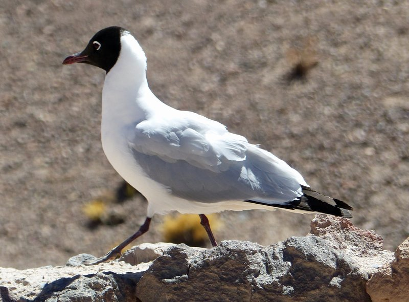 Andean Gull at the Mirador Miniques