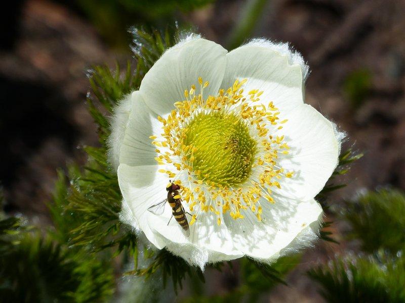 On the Myrtle Falls trail, Mount Rainier NP - pasque flower