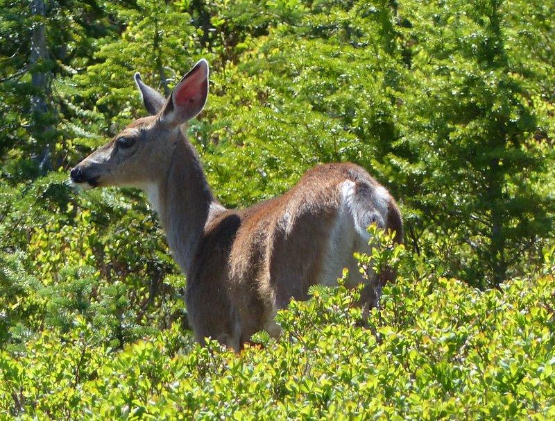 Deer on the Myrtle Falls trail, Mount Rainier NP