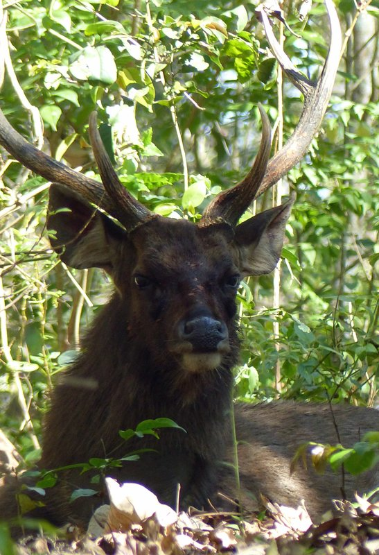 Sambar deer, Periyar
