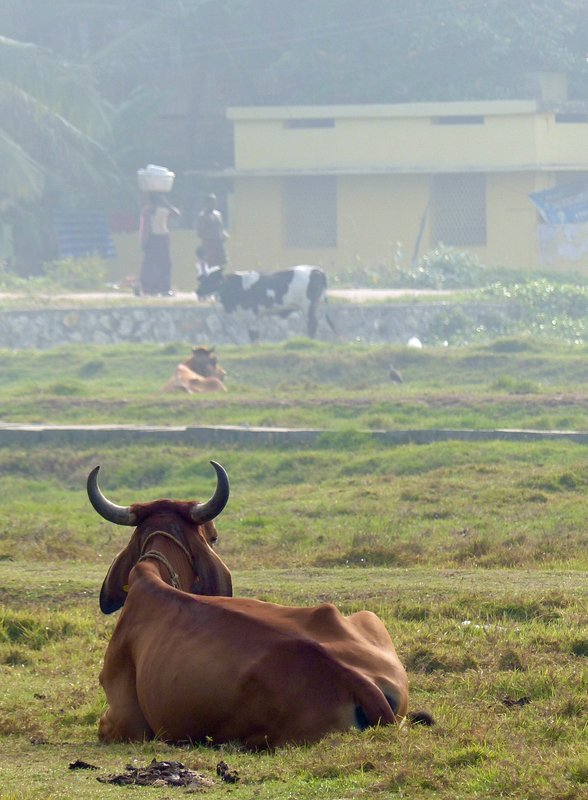 Cattle grazing, Chowara beach