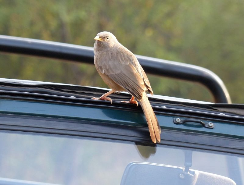 Rufous tree pie on a jeep - Ranthambore National Park