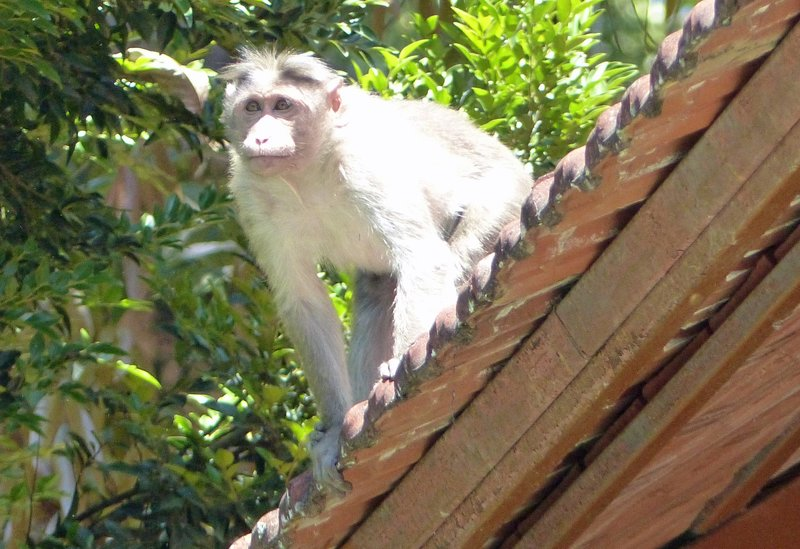 Langur monkey at Cardamom County Hotel