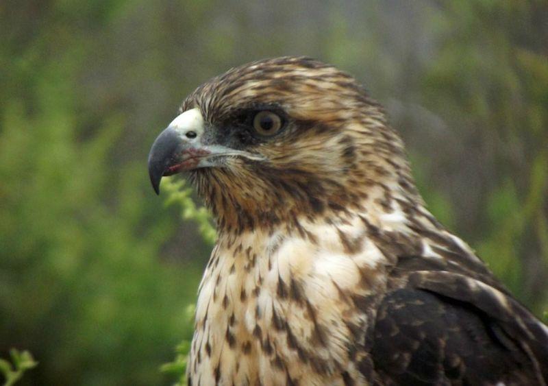 Juvenile Galapagos Hawk - Santa Fe