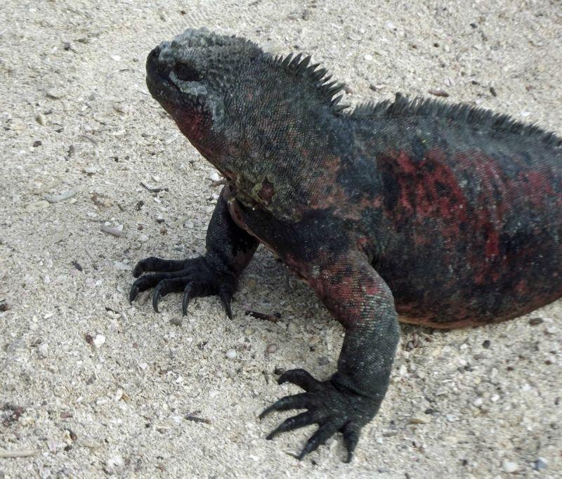 Marine iguana - Isla Española