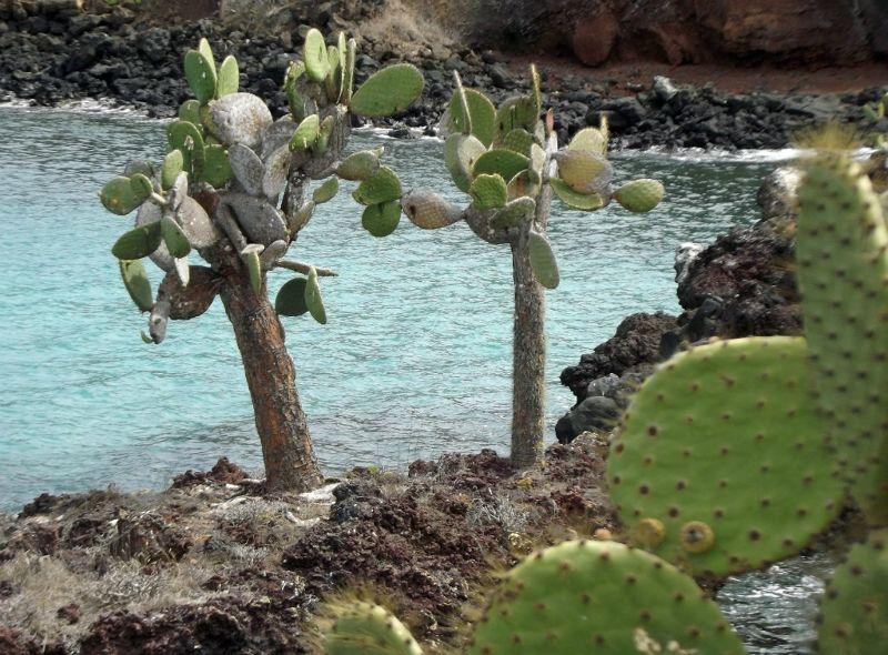 Opuntia - Isla Rábida