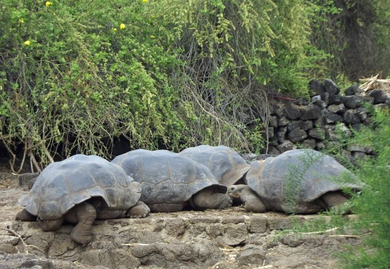 Male tortoises at the Charles Darwin Research Centre - Puerto Ayora, Santa Cruz